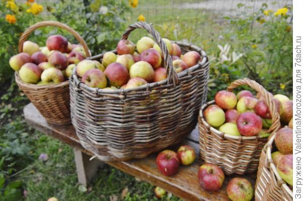 Порадовали яблоньки в этом году.