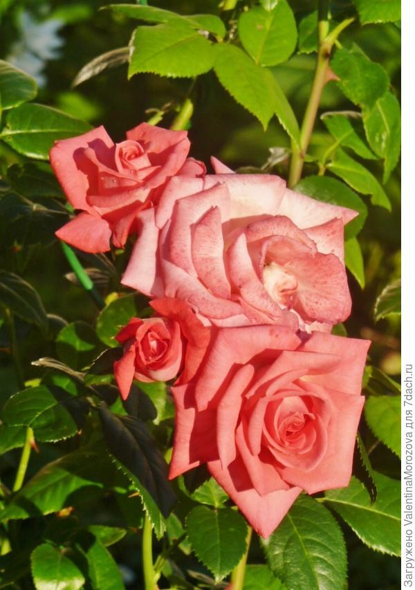 розы для Светланы