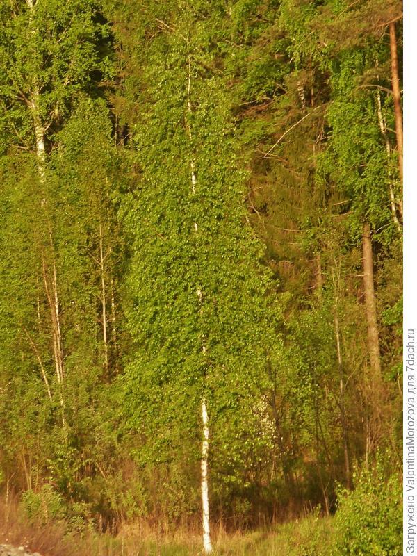 Берёзка в нежной зелени
