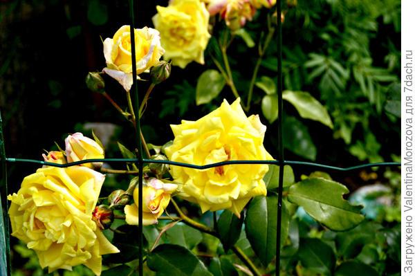 Жёлтенькая отцветает