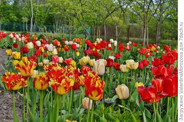 Это его весеннее тюльпановое царство.