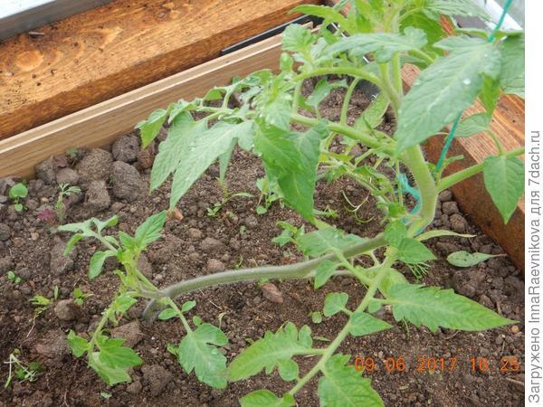 один томат подвязан, так как завалился.