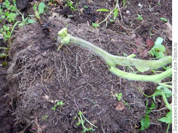 отмирание растения