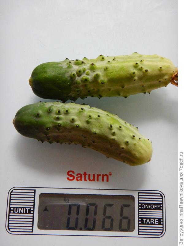 66 гр