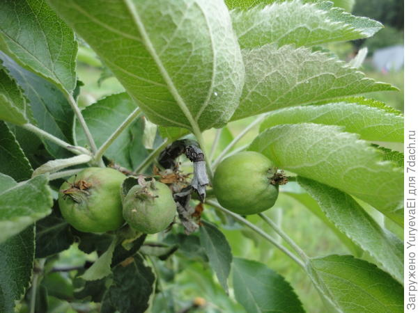 Три маленьких яблока на колоновидной яблоне в июне 2016 г. г. Екатеринбург