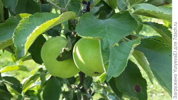 Так выглядят на сегодня плоды колоновидной яблони в августе 2016 г. СНТ Цветочный. Екатеринбург.