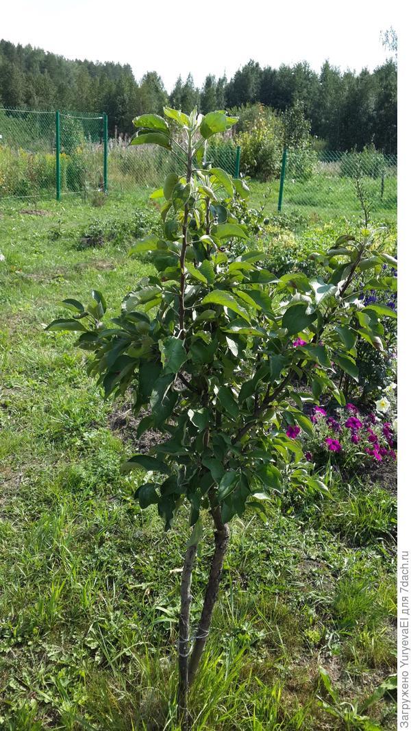 Общий вид колоновидной яблони, которая была посажена летом 2013 г. Цвела каждый год, а яблоки появились только в этом 2016 г.