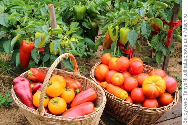 Перцы в моем огороде