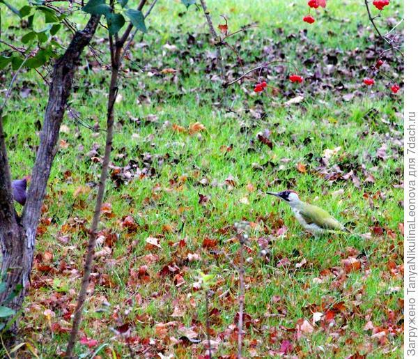 зеленый дятел