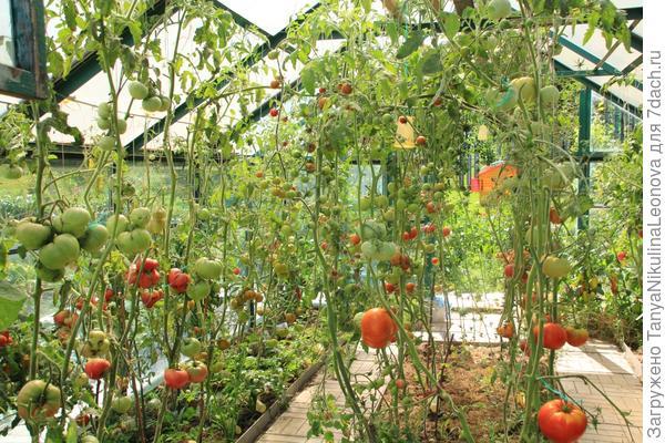 томаты в нашей теплице