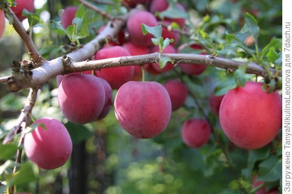 Плоды весом до 45 гр.