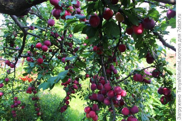 Плоды очень вкусные!