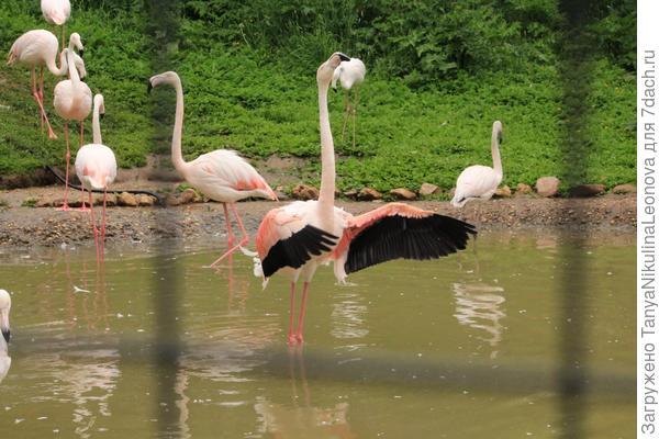 Фламинго-Дирижер