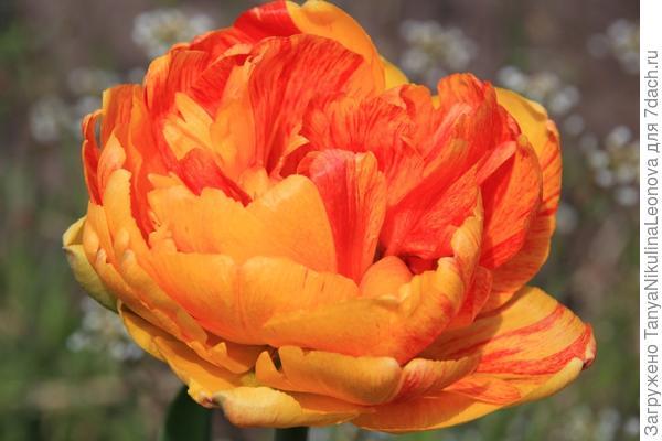 """Это цветет моя """"Солнечная любовь"""""""