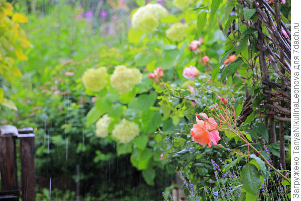 Розы мокнут...
