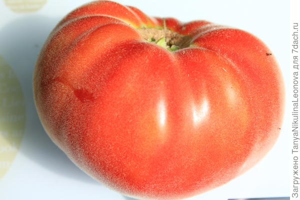 """Абрикос"" - томат с опушением"