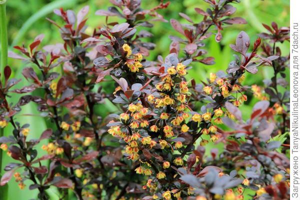 цветёт барбарис Тунберга