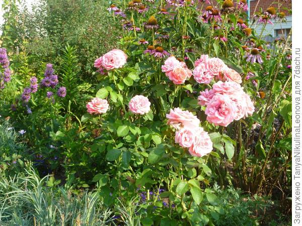 Розы и эхинацея ( справа немного видна монарда)