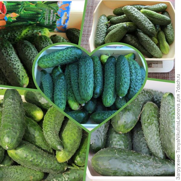 "Тестирование семян овощей от компании ""Премиум Сидс"". Огурец 'Матвейка' F1. Подведём итоги"