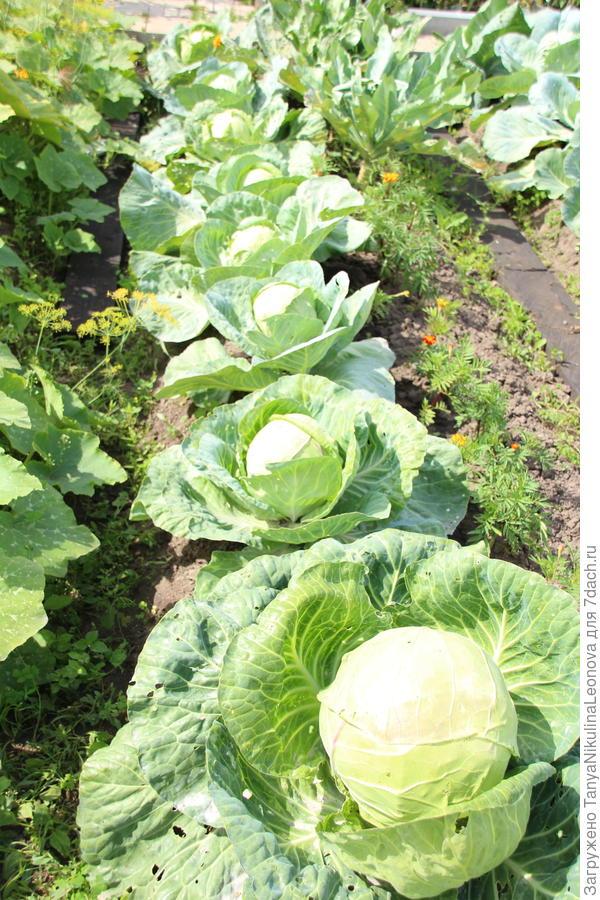 Тестирование семян овощей от компании Премиум Сидс. Капуста 'Засолиха' F1. Подводим итоги
