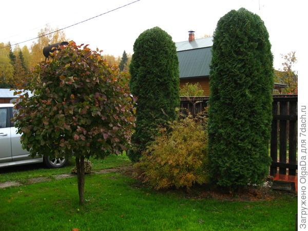 деревце боярышника