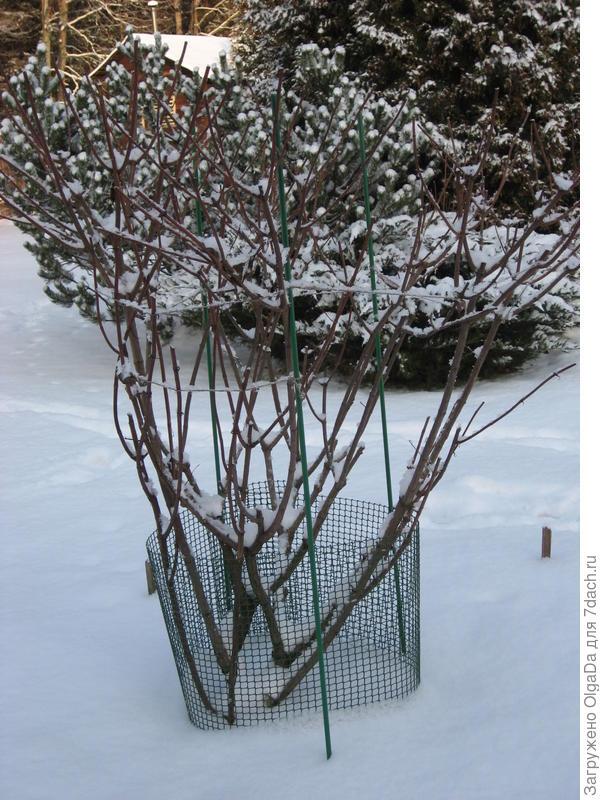 зимовка метельчатой гортензии