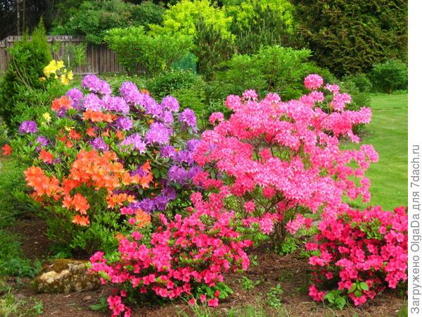 Цветение рододендронов