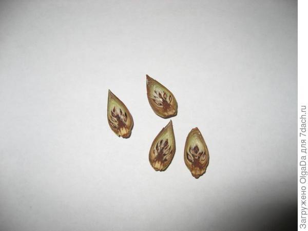 Погибшие цветочные почки в разрезе