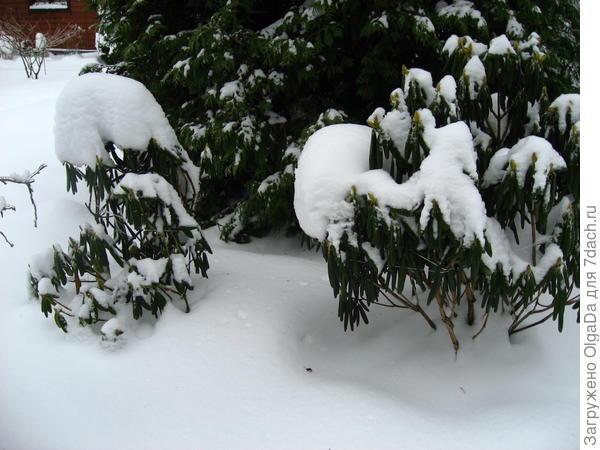 Рододендроны зимой
