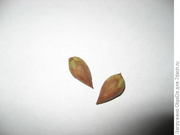 Погибшие цветочные почки рододендрона