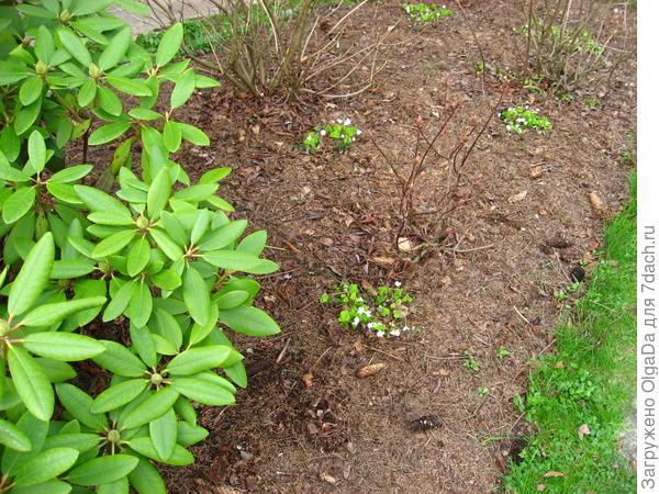 Кислица под кустами рододендронов