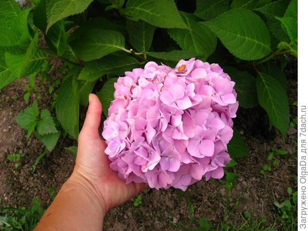 Макрофила с розовыми цветами с одной стороны куста