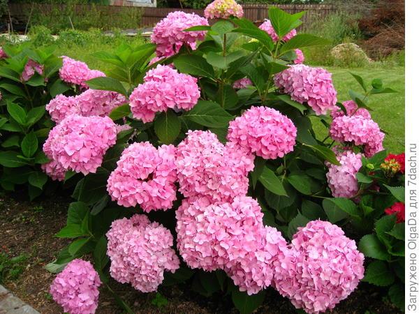 Синяя гортензия, после пересадки зацвела розовыми цветами