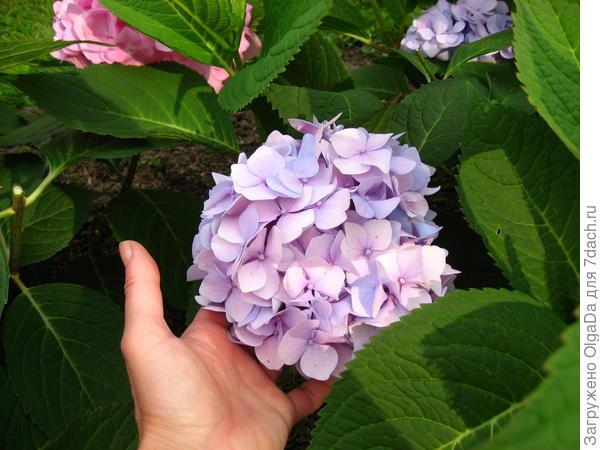 Макрофила с бледно-лиловыми цветками с другой стороны куста