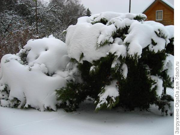 Туи под снегом