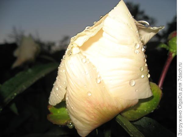 Эрли Глоу во время дождя сворачивает лепестки