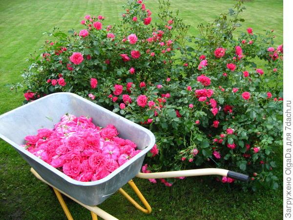 Несмотря на дожди, розы изо всех сил стараются показать свою красоту.