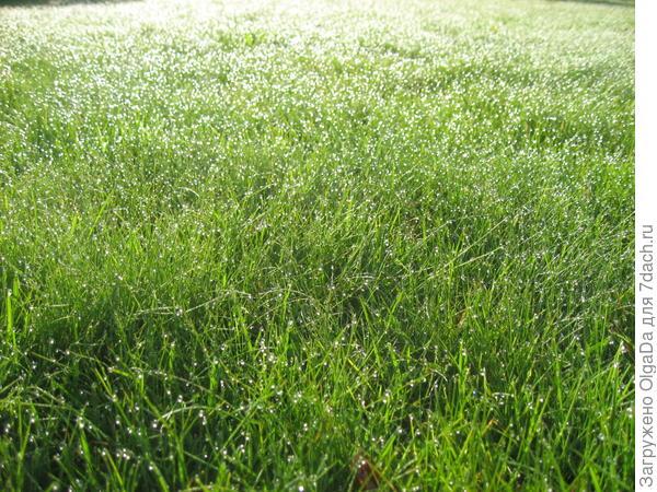 А если ранним редким солнечным утром удается попить кофе в саду, любуюсь каплями росы на не кошенном газоне, которые переливаются всеми цветами радуги.