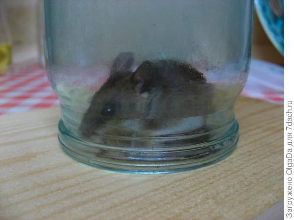 Живая мышка в банке. Отнесу её в лес.