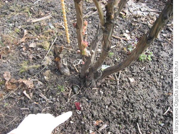 У привитого древовидного пиона начинает расти побег травянистого