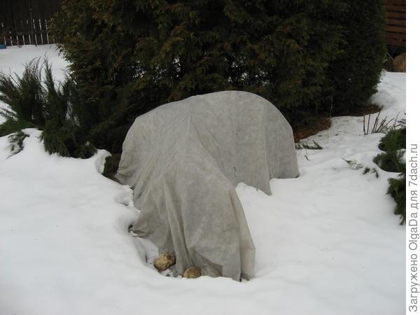 Зимнее укрытие древовидных понов