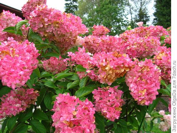 Ванили Фрейз начинает отцветать, в соцветиях появились «ржавые» оттенки высохших цветков.
