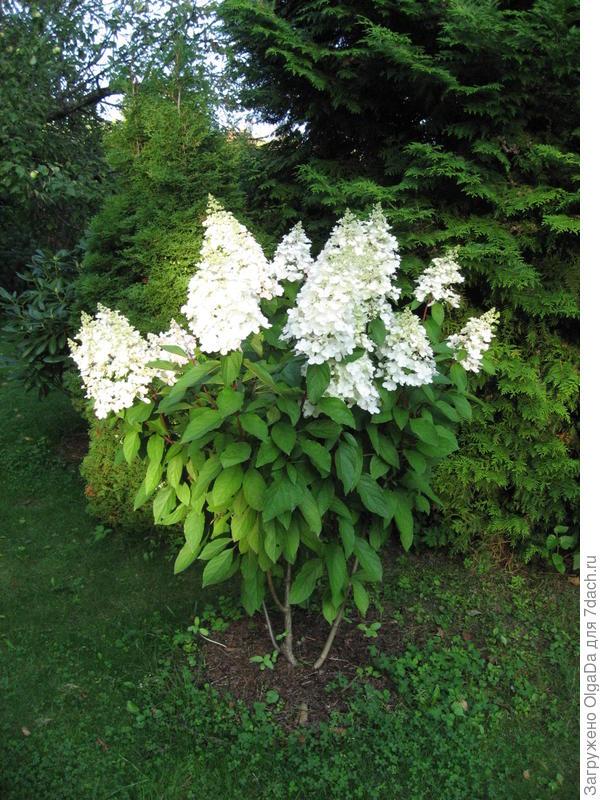 Начало цветения. Соцветия чисто белые.
