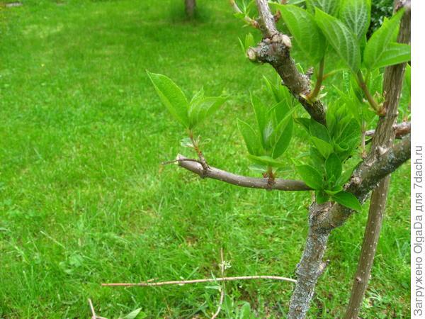 Старая ветка, коротко обрезана, на сильный побег растущий вверх.