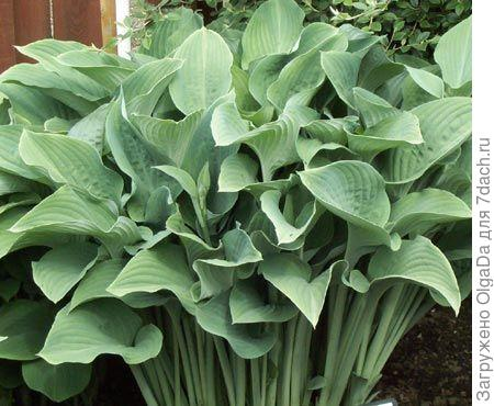 Hosta nigrescens Krossa Regal