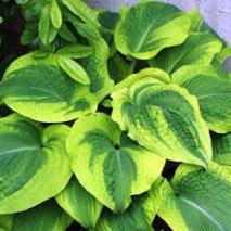 Hosta hybride Climax