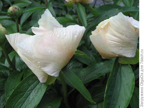 В дождь лепестки цветка складываются