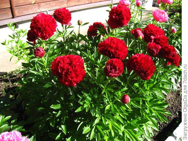 Травянистые пионы  - Red Grace
