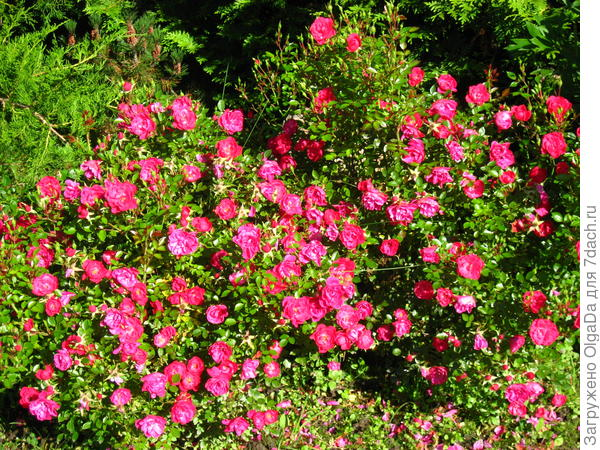 Розы-патио