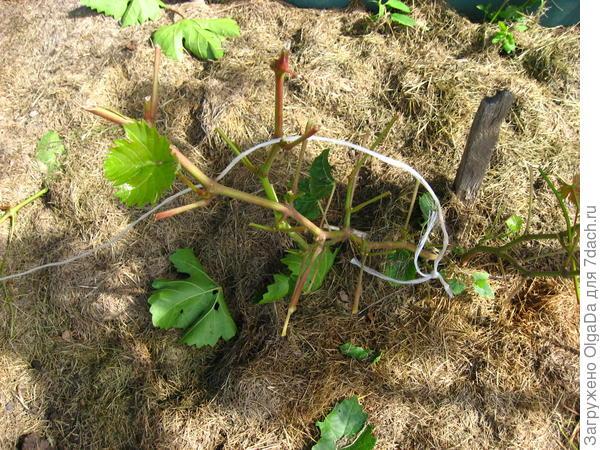 Молодой куст винограда тоже обгрызен. Даже верёвку перегрызли.